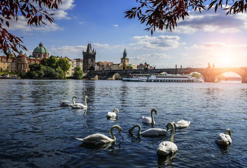 praga Ponte e cisnes de Charles no rio de Vltava em Praga República checa fotos de stock