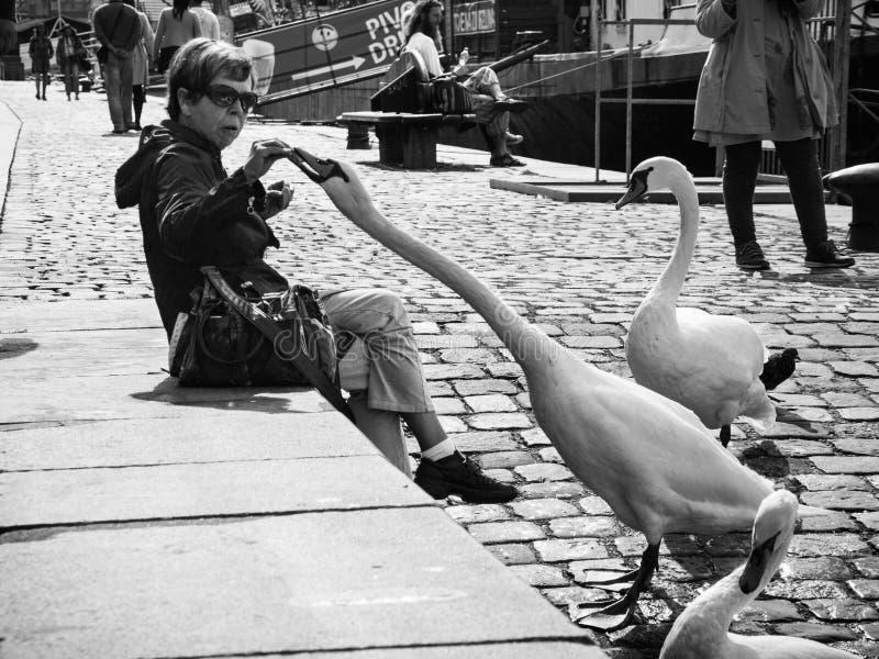 Praga, República Checa - 17 de setembro de 2017: A cisne arrebata o alimento fotos de stock royalty free