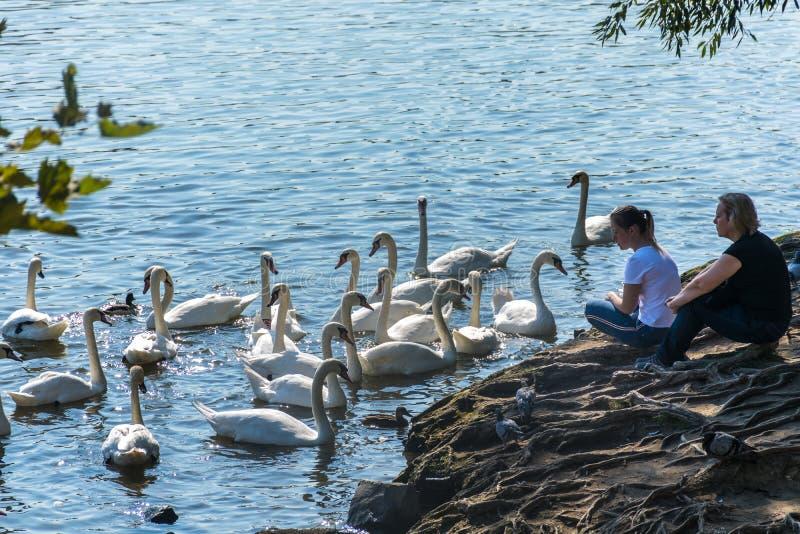 Praga, República Checa - 10 de setembro de 2019: os povos olham cisnes em Praga no rio ao lado de Charles Bridge fotografia de stock royalty free