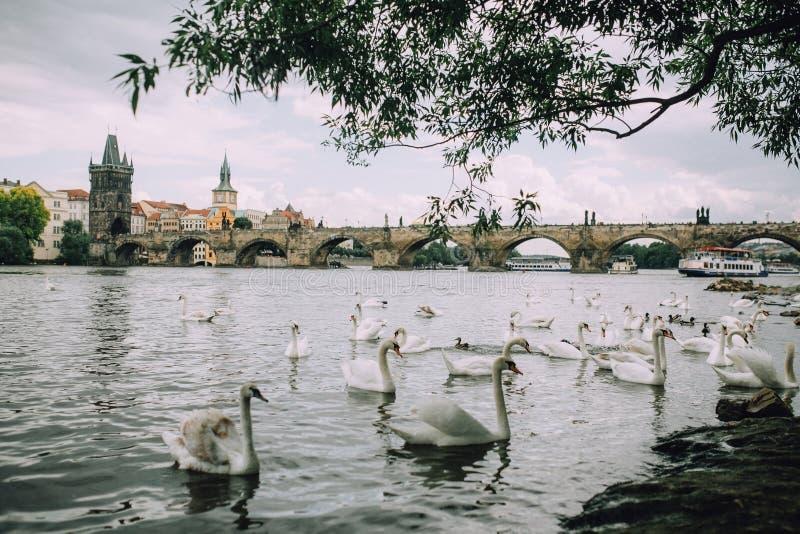 Praga, República Checa - mayo de 2014 Opinión el Moldava, Charles Bridge y una multitud de cisnes fotografía de archivo