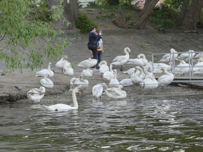 Splendid shot of several tourists feeding white swans on the ban stock image