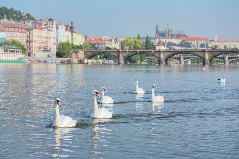 Swans on Vltava river in Prague, Czech Republic royalty free stock photography