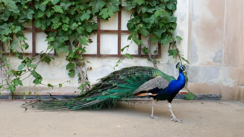 Prague Maj 28, 2017 Perfekt påfågel i den öppna trädgården Den manliga påfågeln med ljusa färgrika fjädrar står nära royaltyfri bild