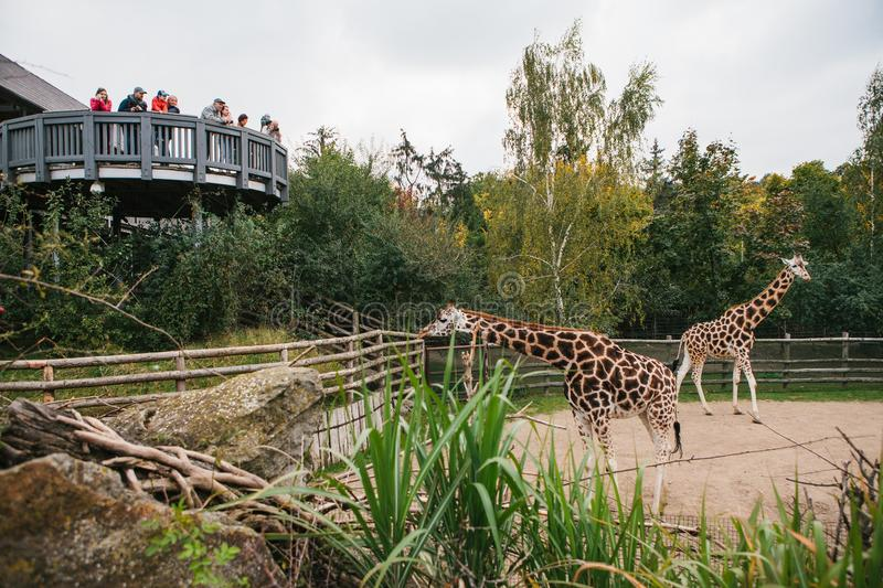 Prague, September 26, 2018: People or group of friends or guests of zoo look at giraffes in Prague. Wild african animals stock photo