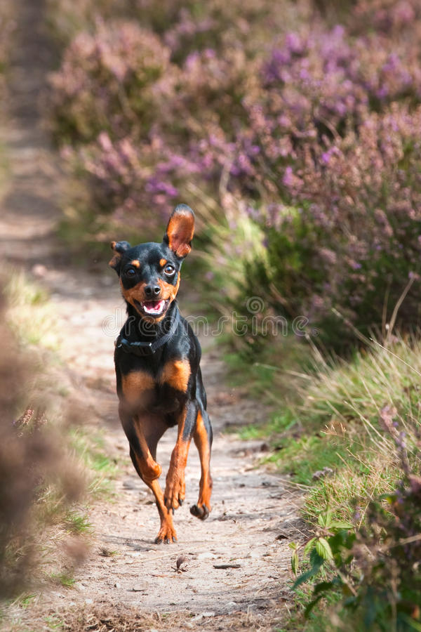 Praguer Rattler running. Picture of a tiny Praguer Ratler (Prazsky Krysavik) running along a path on the dutch Heather. Short DOF stock image