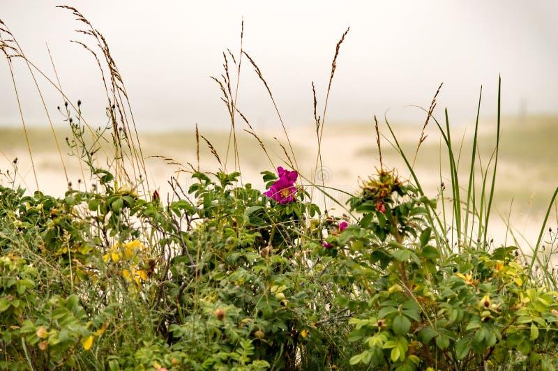 A praia cor-de-rosa aumentou em Cape Cod imagem de stock