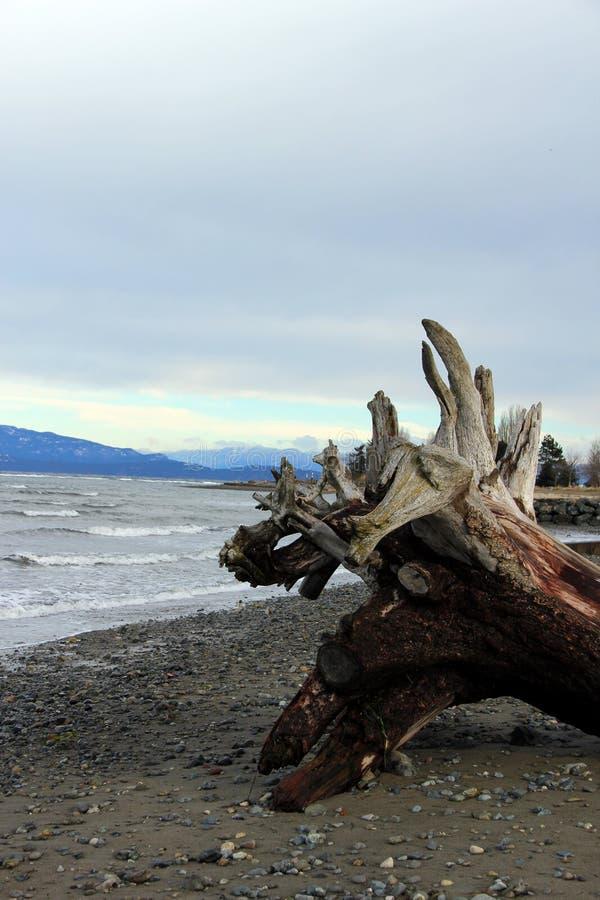 Praia da comunidade de Parksville do emaranhado da raiz da madeira lançada à costa, Parksville, BC fotografia de stock