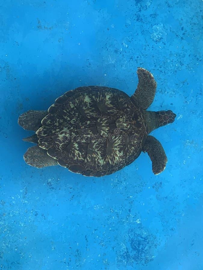 Sea turtles in the Tamar project aquarium. Praia do Forte- Bahia, sea turtles in the Tamar project aquarium stock photography