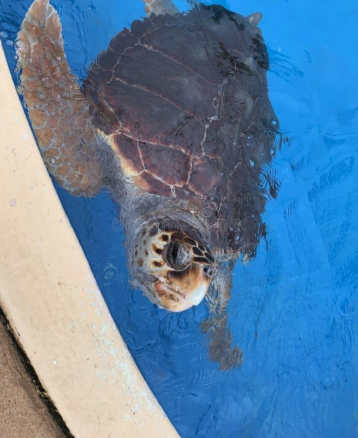 Sea turtles in the Tamar project aquarium. Praia do Forte- Bahia, sea turtles in the Tamar project aquarium royalty free stock photo