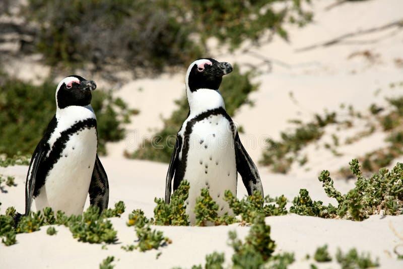 Praia do pinguim fotografia de stock