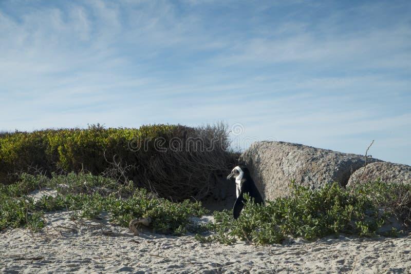 Praia dos pinguins na cidade do cabo fotografia de stock