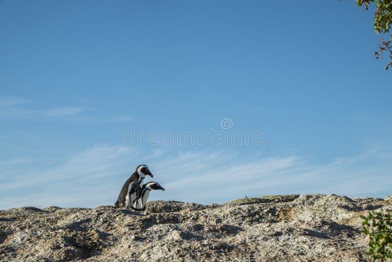 Praia dos pinguins na cidade do cabo fotos de stock