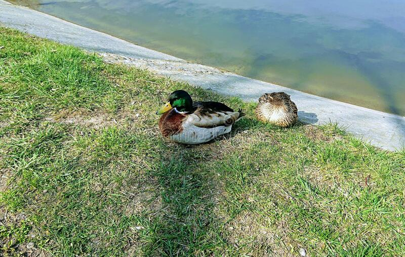 Praia ducks resting in a park. royalty free stock image