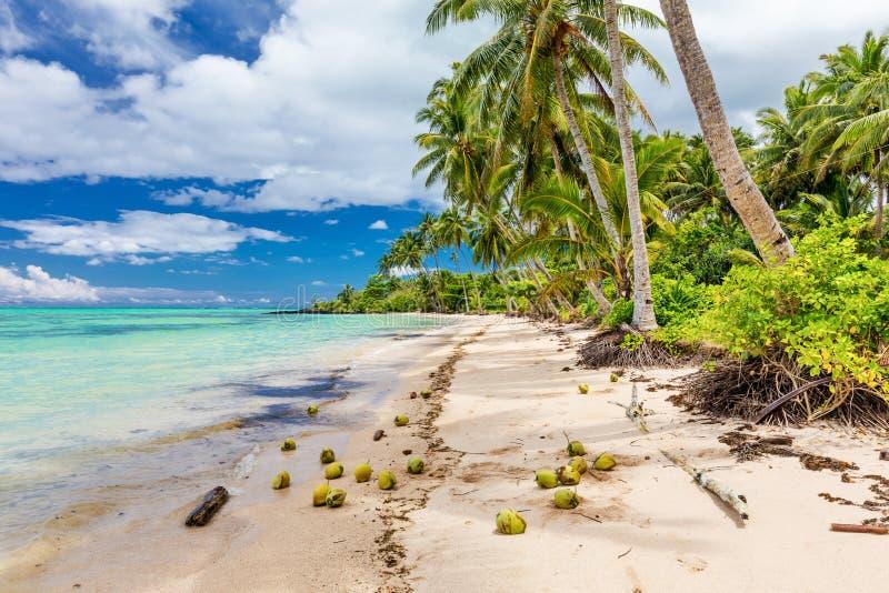 Praia selvagem com palmeiras e cocos no lado sul de Upolu, fotos de stock royalty free
