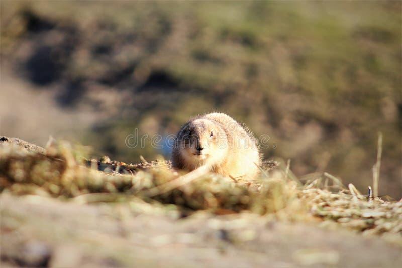 Prairehond die op een heuvel leggen stock foto's