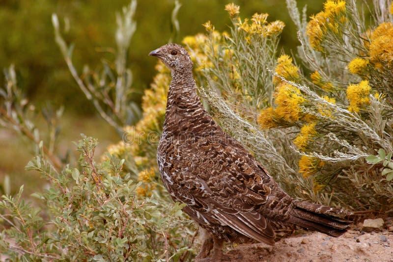 Download Prairie Chicken And Rabbit Grass Stock Image - Image: 1505673
