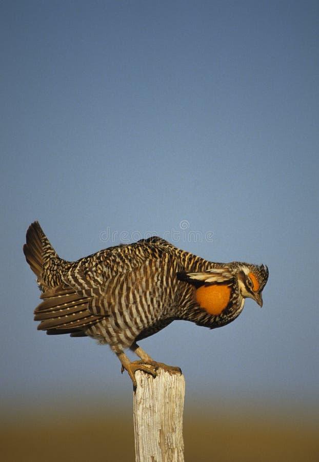 Download Prairie Chicken Strutting On Fencepost Stock Photo - Image: 9406540