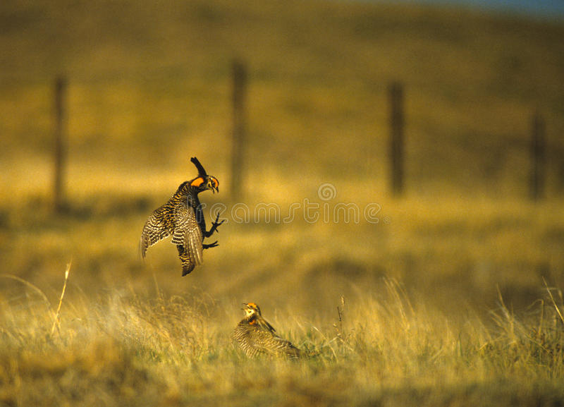 Download Prairie Chickens Fighting stock image. Image of displaying - 10592261