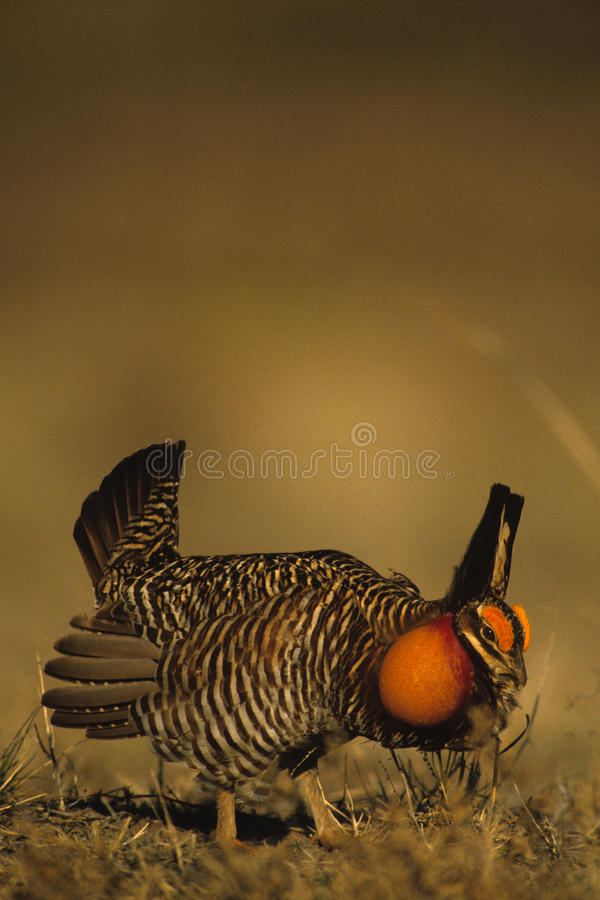 Prairie Chickens on Lek royalty free stock images