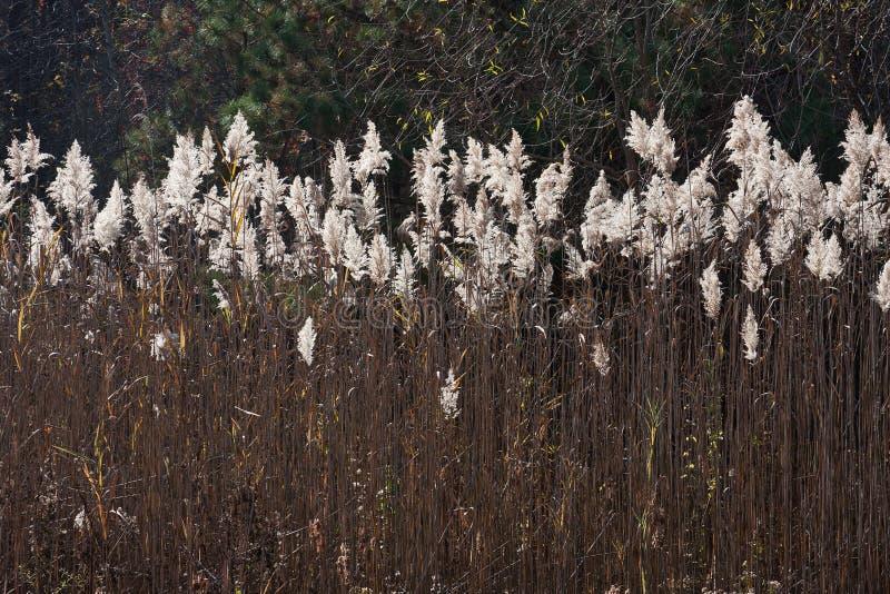 Prairie Cordgrass (Spartina pectinata). A field of Prairie Cordgrass (Spartina pectinata stock images
