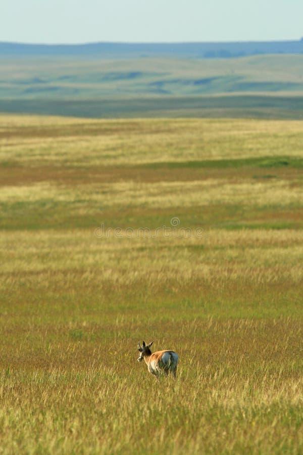 Prairie de Pronghorn images stock