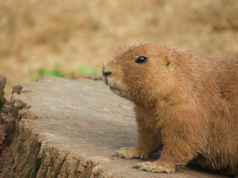 Prairie Dog royalty free stock photos