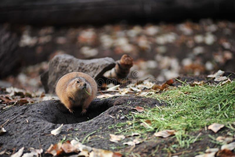 Download Prairie Dog Royalty Free Stock Photo - Image: 12026235