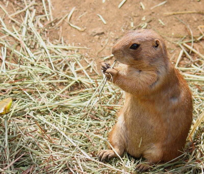 Download Prairie Dog stock photo. Image of grass, hind, burrow - 17497760