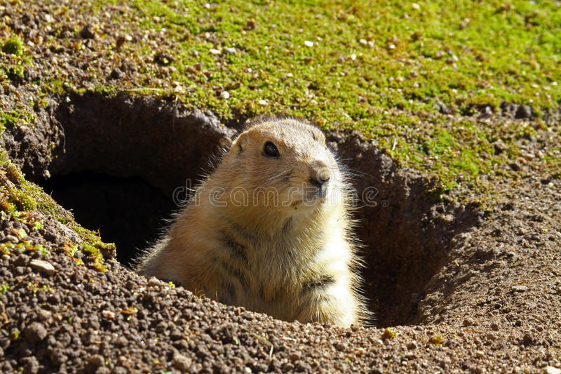 Prairie Dog. Posing In His Home stock images