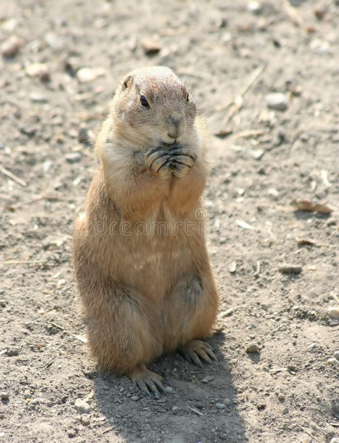 Prairie dog. A cute prairie dog eating a core royalty free stock image
