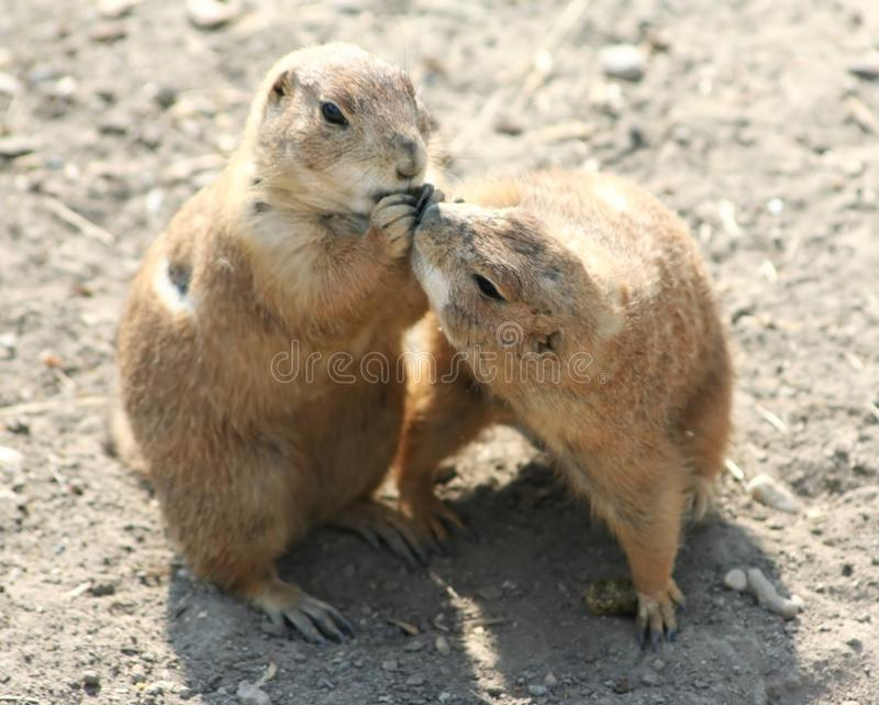 Download Prairie dog stock image. Image of nature, wild, cute - 22751513