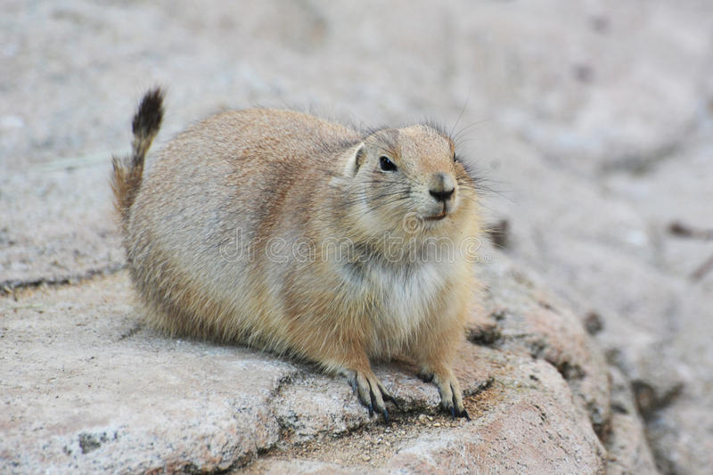 Download Prairie dog stock photo. Image of cynomys, mexican, nature - 22904774