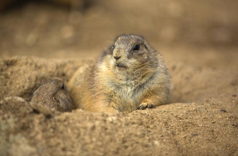 Prairie dog. These stout-bodied rodents grow to be between 30 and 40 centimetres long, including the short tail and weigh between 0.5 and 1.5 kilograms. There is royalty free stock photos