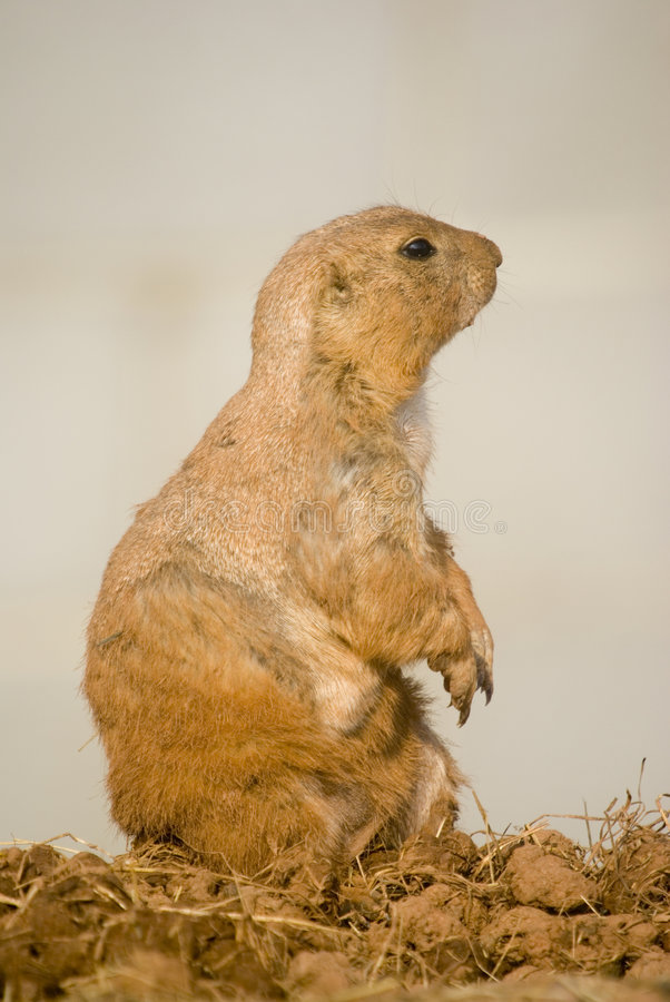 Download Prairie Dog stock image. Image of nature, desert, marmot - 2427811