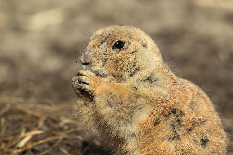 Download Prairie dog stock photo. Image of rodent, animal, head - 24495106