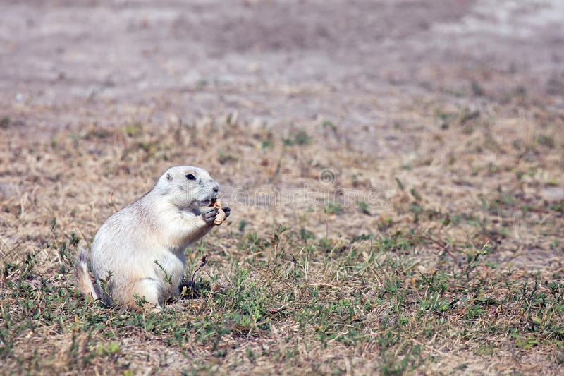 Download Prairie Dog stock image. Image of cute, curious, south - 27308645