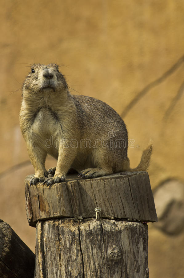Download Prairie Dog Stock Photo - Image: 28552450