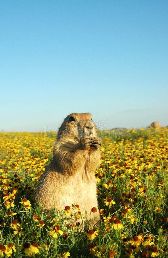 Download Prairie dog stock image. Image of varmint, ground, eating - 516457