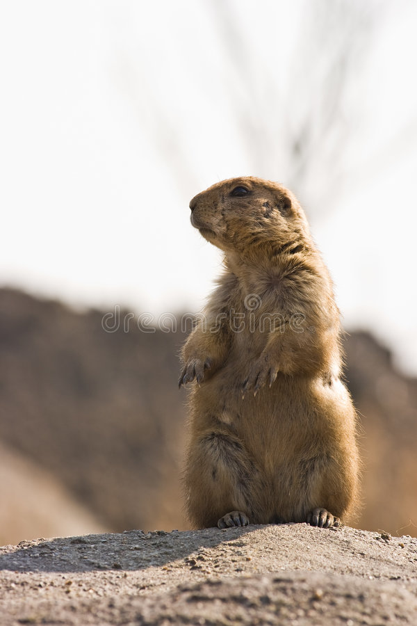Prairie dog. Small, burrowing rodents native to the grasslands of North America royalty free stock image