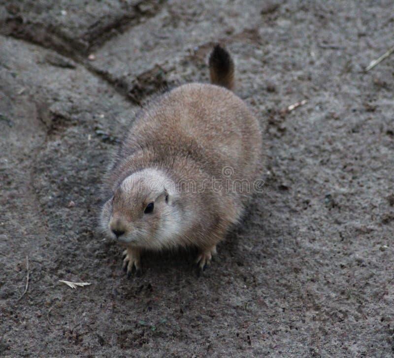 Download Prairie dog stock photo. Image of cute, alert, mammal - 83705148