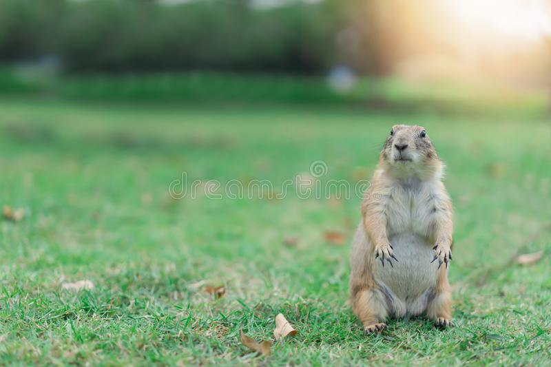Prairie dog is animal at the garden royalty free stock photo