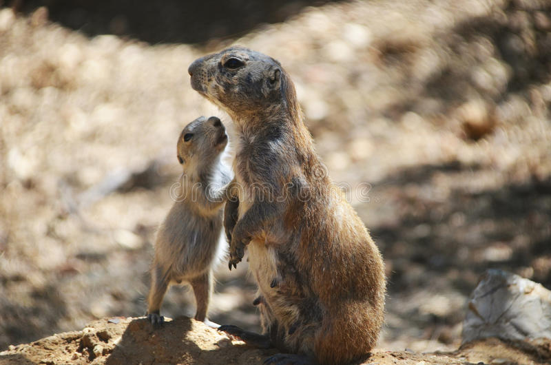 Prairie dog and baby. Wild prairie dog with her baby stock photography