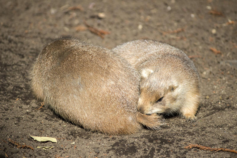 Prairie dog chewing another one`s tail. A prairie dog chewing another one`s tail royalty free stock photos