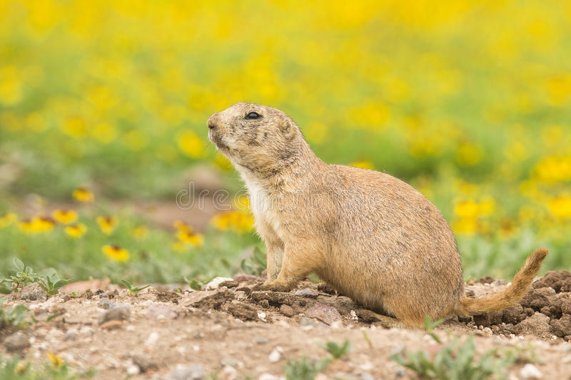 Prairie dog in colorful field stock photography