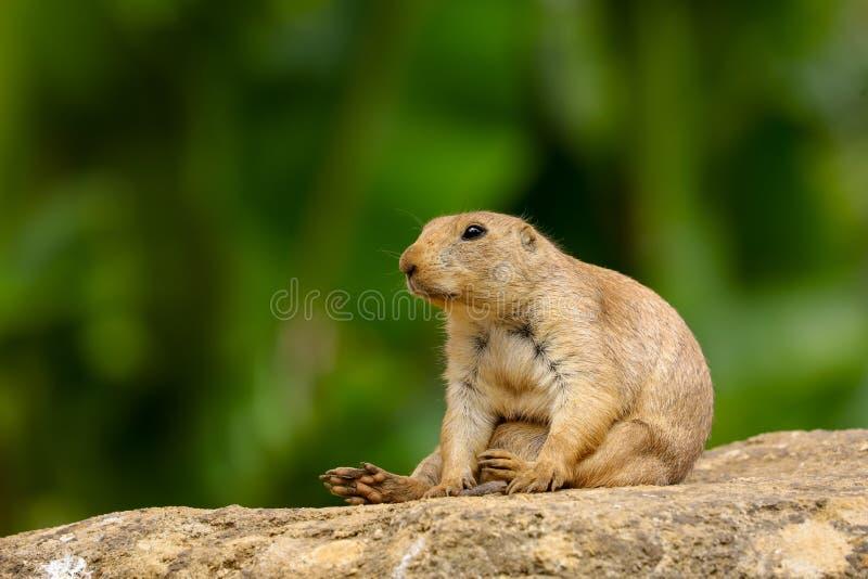 Prairie Dog Cynomys ludovicianus adult stock image