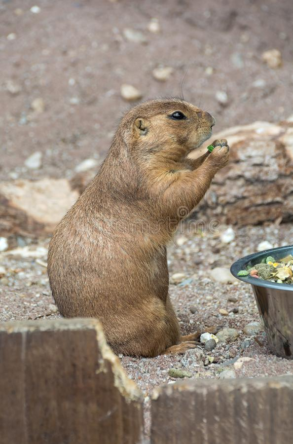 Prairie dog Cynomys ludovicianus eating a meal royalty free stock image