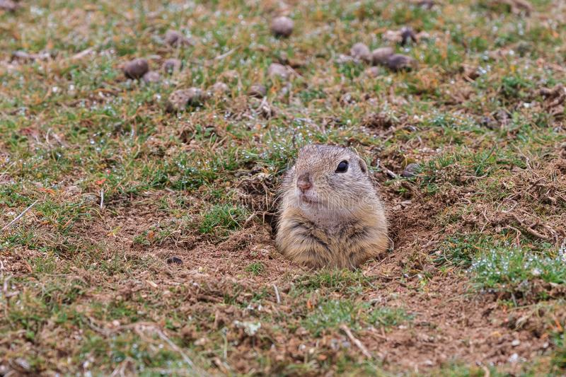 Prairie dog cynomys ludovicianus sticking out from a burrow. stock photos