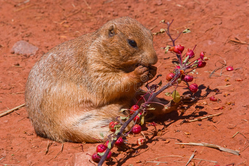 Download A prairie dog eating stock image. Image of wildlife, animal - 10707607
