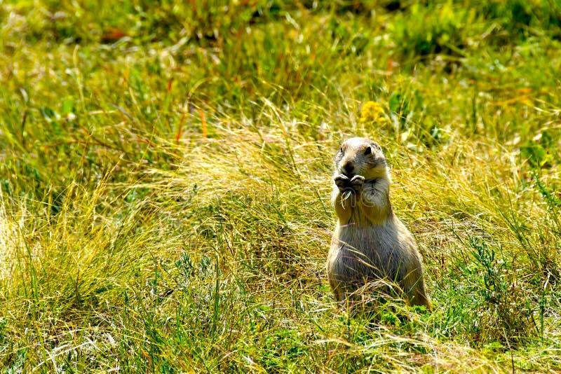 Prairie Dog in a green field stock photo