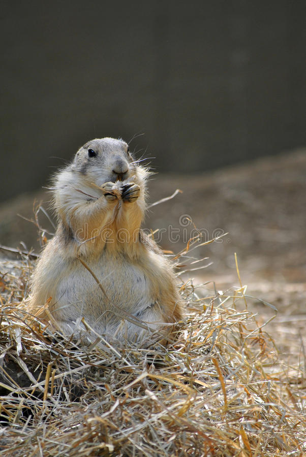 Prairie dog eating. A Prairie dog at the DC National Zoo stock image